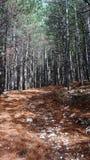 Πορεία στο δάσος πεύκων δέντρων Στοκ φωτογραφία με δικαίωμα ελεύθερης χρήσης