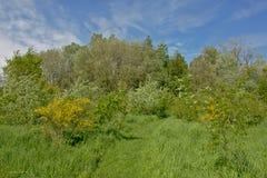 Πορεία χλόης μέσω ενός πολύβλαστου πράσινου λιβαδιού με τους θάμνους σκουπών scothc και το δάσος στην επιφύλαξη φύσης Bourgoyen,  Στοκ Φωτογραφίες