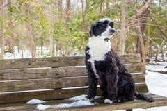 Πορτογαλικό σκυλί ύδατος Στοκ Εικόνα