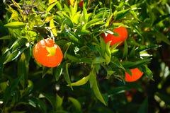 Πορτοκάλια κινεζικής γλώσσας στον κήπο μου στοκ εικόνες