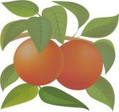 πορτοκάλια διανυσματική απεικόνιση