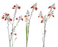 πορτοκάλι έλους gladiolus Στοκ φωτογραφία με δικαίωμα ελεύθερης χρήσης