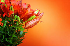 πορτοκάλι ανασκόπησης lilly Στοκ Εικόνες