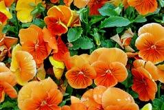 πορτοκάλι ανθών ειδικό Στοκ φωτογραφίες με δικαίωμα ελεύθερης χρήσης