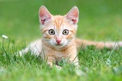 πορτοκάλι γατακιών στοκ εικόνα
