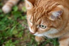 πορτοκάλι γατών στοκ φωτογραφία με δικαίωμα ελεύθερης χρήσης