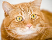πορτοκάλι γατών Στοκ Εικόνες