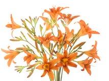 πορτοκάλι δεσμών lilly Στοκ εικόνα με δικαίωμα ελεύθερης χρήσης