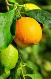 Πορτοκάλι και λεμόνια. Στοκ Φωτογραφίες