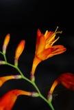 πορτοκάλι κρίνων Στοκ Εικόνα