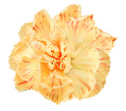 πορτοκάλι λουλουδιών γαρίφαλων στοκ εικόνα με δικαίωμα ελεύθερης χρήσης