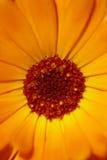 πορτοκάλι λουλουδιών π Στοκ φωτογραφία με δικαίωμα ελεύθερης χρήσης