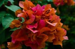 πορτοκάλι λουλουδιών bougainvillea Στοκ εικόνα με δικαίωμα ελεύθερης χρήσης