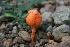 πορτοκάλι μανιταριών στοκ εικόνα με δικαίωμα ελεύθερης χρήσης