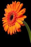 πορτοκάλι μαργαριτών Στοκ Εικόνα