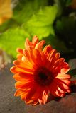 πορτοκάλι μαργαριτών gerber Στοκ φωτογραφία με δικαίωμα ελεύθερης χρήσης