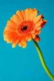 πορτοκάλι μαργαριτών gerber Στοκ Φωτογραφίες