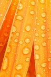 πορτοκάλι μαργαριτών petails Στοκ Φωτογραφίες