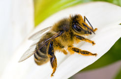 πορτοκάλι μελισσών στοκ φωτογραφία με δικαίωμα ελεύθερης χρήσης