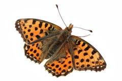 πορτοκάλι πεταλούδων Στοκ φωτογραφία με δικαίωμα ελεύθερης χρήσης