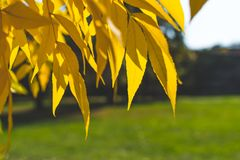 πορτοκάλι φύλλων κίτρινο η κινηματογράφηση σε πρώτο πλάνο ανασκόπησης φθινοπώρου χρωματίζει το φύλλο κισσών πορτοκαλί Υπόβαθρο πτ Στοκ Φωτογραφία