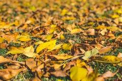πορτοκάλι φύλλων κίτρινο η κινηματογράφηση σε πρώτο πλάνο ανασκόπησης φθινοπώρου χρωματίζει το φύλλο κισσών πορτοκαλί Υπόβαθρο πτ Στοκ φωτογραφία με δικαίωμα ελεύθερης χρήσης