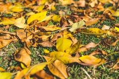 πορτοκάλι φύλλων κίτρινο η κινηματογράφηση σε πρώτο πλάνο ανασκόπησης φθινοπώρου χρωματίζει το φύλλο κισσών πορτοκαλί Υπόβαθρο πτ Στοκ Φωτογραφίες
