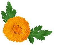 πορτοκάλι χρυσάνθεμων Στοκ Εικόνες