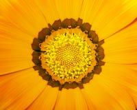 πορτοκάλι 01 λουλουδιών Στοκ Εικόνα