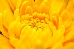 πορτοκάλι 5 χρυσάνθεμων Στοκ Εικόνες
