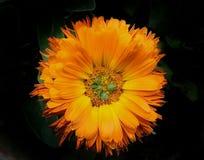 Πορτοκάλι Calendula στοκ εικόνες