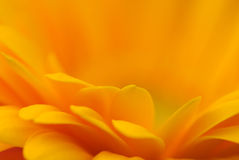 πορτοκάλι daisey gerber Στοκ Φωτογραφίες