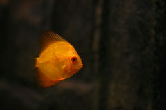 πορτοκάλι discus symphysodon Στοκ φωτογραφίες με δικαίωμα ελεύθερης χρήσης