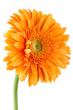 πορτοκάλι gerbera λουλουδιών μαργαριτών Στοκ φωτογραφία με δικαίωμα ελεύθερης χρήσης