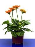 πορτοκάλι gerbera στοκ εικόνες