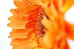 πορτοκάλι gerbera Στοκ Φωτογραφίες