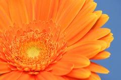 πορτοκάλι gerbera Στοκ Φωτογραφία