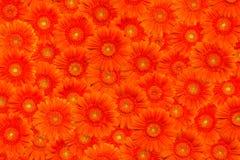 πορτοκάλι gerberas ανασκόπησης Στοκ Φωτογραφία