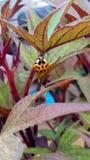 Πορτοκάλι Ladybug σε Perú στοκ εικόνα με δικαίωμα ελεύθερης χρήσης