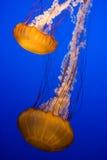πορτοκάλι medusas Στοκ φωτογραφία με δικαίωμα ελεύθερης χρήσης