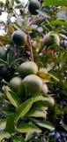 Πορτοκάλι Sunkist στοκ εικόνες με δικαίωμα ελεύθερης χρήσης