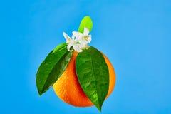 Πορτοκάλια με τα πορτοκαλιά λουλούδια ανθών στο μπλε Στοκ εικόνα με δικαίωμα ελεύθερης χρήσης