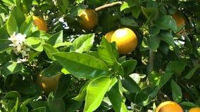Πορτοκάλια σε ένα δέντρο φιλμ μικρού μήκους