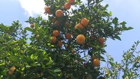 Πορτοκάλια σε ένα δέντρο απόθεμα βίντεο