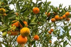 Πορτοκάλια στα δέντρα στον κήπο Στοκ Εικόνα