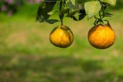 Πορτοκάλια στα δέντρα στον κήπο Στοκ Φωτογραφίες