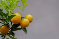 Πορτοκάλια στο δέντρο Στοκ Εικόνες