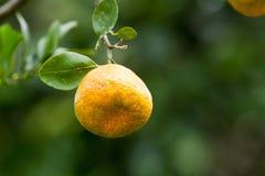 Πορτοκάλια χυμού Στοκ Φωτογραφίες