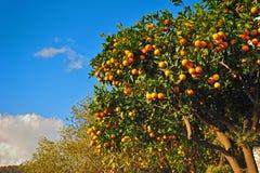 πορτοκάλια ώριμα Σε ένα δέντρο Στοκ φωτογραφία με δικαίωμα ελεύθερης χρήσης