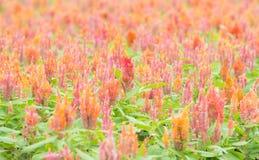 πορτοκάλι κήπων λουλο&upsilon Στοκ Εικόνες